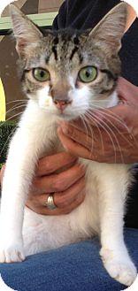 Domestic Mediumhair Kitten for adoption in Thousand Oaks, California - Roxy