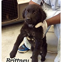 Adopt A Pet :: Brittney - Tampa, FL