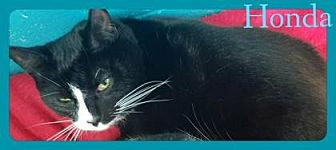Domestic Shorthair/Domestic Shorthair Mix Cat for adoption in Anderson, Indiana - Honda