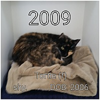 Domestic Shorthair Cat for adoption in Smithtown, New York - Tortie
