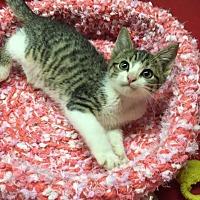 Domestic Shorthair Kitten for adoption in Butner, North Carolina - Hunter
