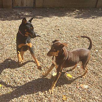 Adopt A Pet :: Mallory  - Albuquerque, NM