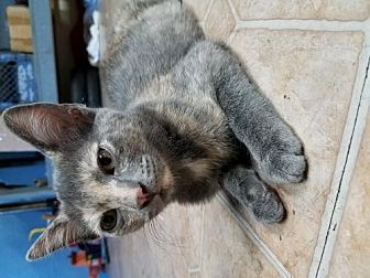 Domestic Shorthair Kitten for adoption in Los Angeles, California - Yara