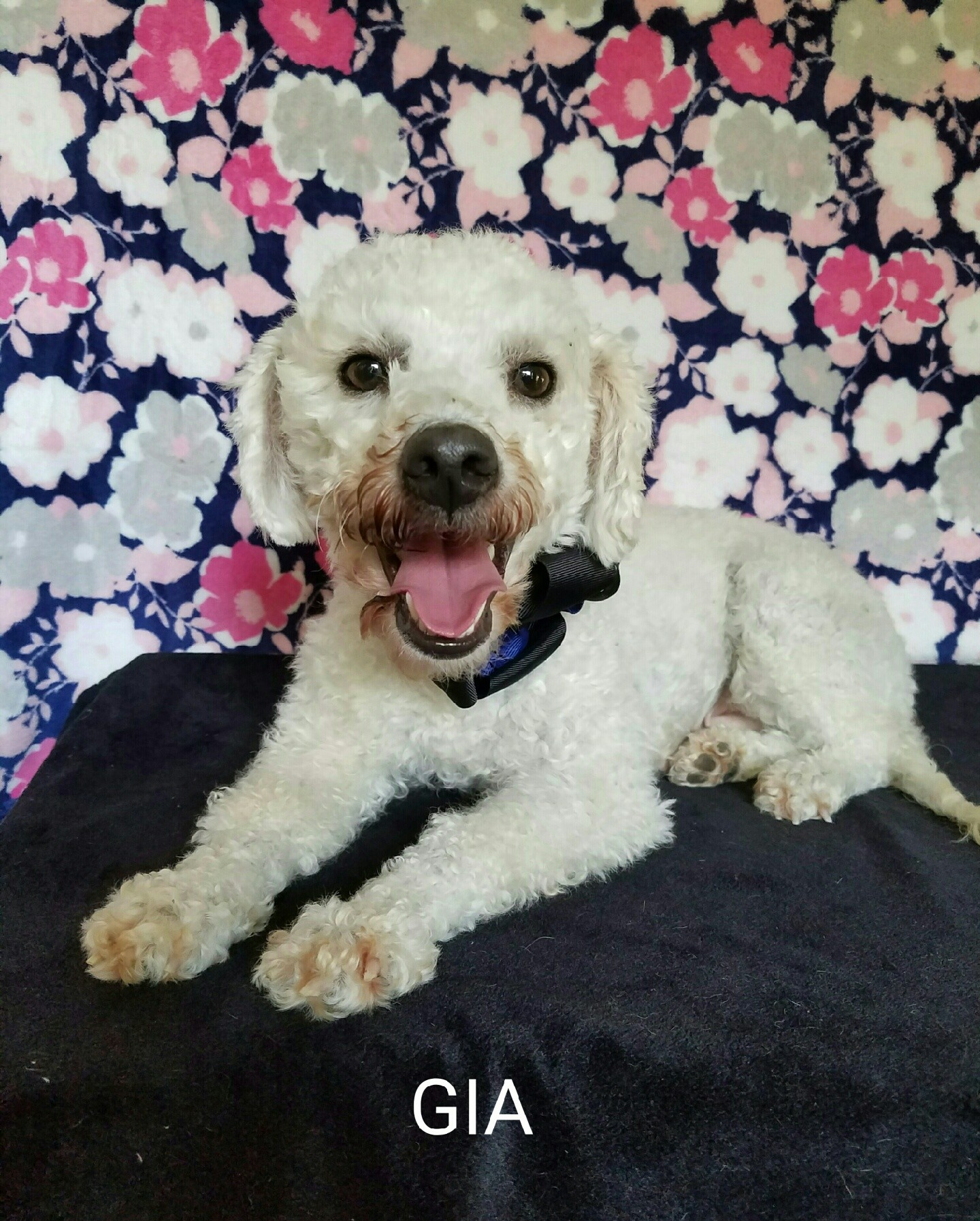 Vancouver Bc Poodle Miniature Meet Gia A Pet For Adoption