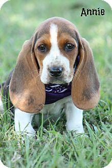 Glastonbury Ct Basset Hound Meet Bassett Puppies A Pet For Adoption