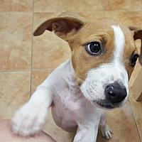 Adopt A Pet :: Trouble - Tampa, FL