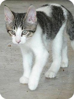 Domestic Shorthair Kitten for adoption in Hamilton, Ontario - Hercules