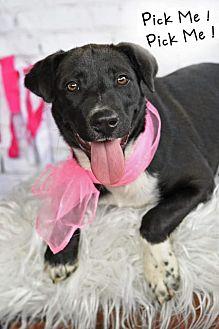 Adopt A Pet :: Kaci  - Aurora, CO