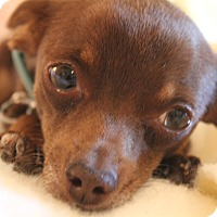 Adopt A Pet :: CocoPuff - Phoenix, AZ