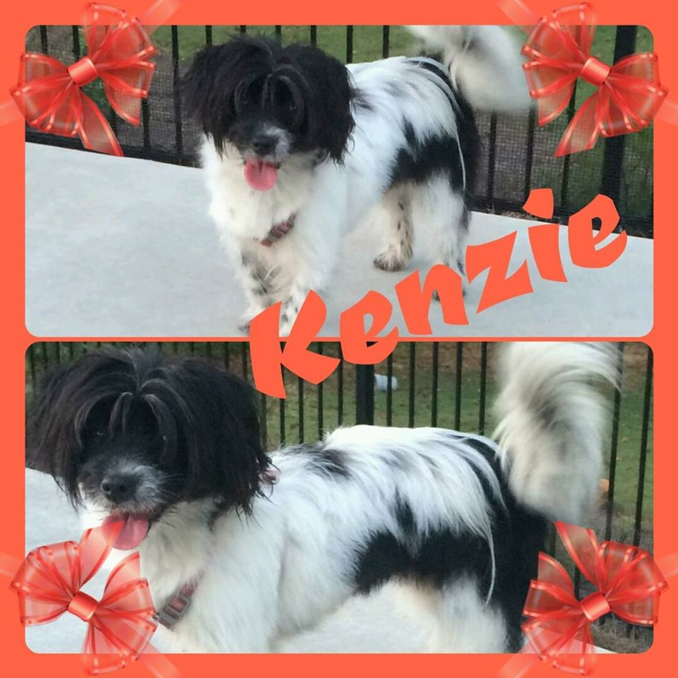 Newnan ga papillon meet kenzie a dog for adoption kristyandbryce Image collections