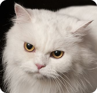 Persian cats for adoption chicago