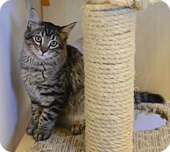 Domestic Longhair Cat for adoption in Gardnerville, Nevada - Kringle