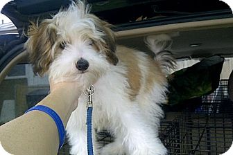 Maltese/Poodle (Miniature) Mix Puppy for adoption in St. Petersburg, Florida - Casey