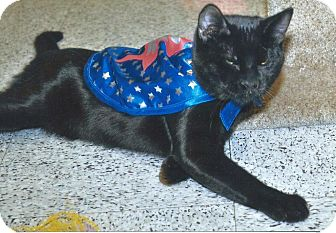 Domestic Shorthair Cat for adoption in Pasadena, California - Panther