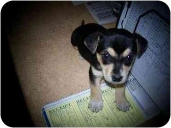 Shelbyville Ky Labrador Retriever Meet Puppies Labmin Pin A