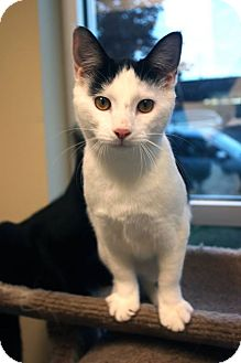 Domestic Shorthair Cat for adoption in Chicago, Illinois - Lil Deville
