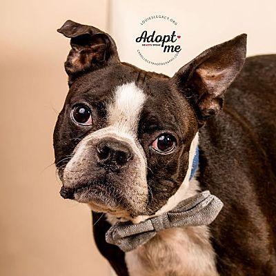 Cincinnati Oh Boston Terrier Meet Roscoe A Pet For Adoption