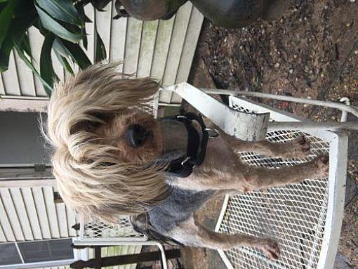 Longview, TX - Yorkie, Yorkshire Terrier  Meet Alec Barkwin