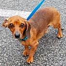 Adopt A Pet :: Franky -- NEEDS FOSTER