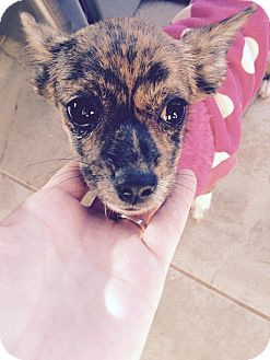 Papillon/Chihuahua Mix Puppy for adoption in Brooklyn, New York - Lovely Lauren