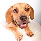 Adopt A Pet :: Baron