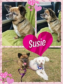 Adopt A Pet :: Susie  - Renton, WA
