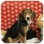 Photo 1 - Hound (Unknown Type)/Beagle Mix Dog for adoption in Orland Park, Illinois - Auggie