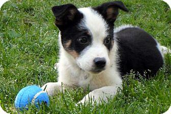 wappingers ny blue heeler meet sammy a dog for adoption