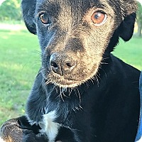 Adopt A Pet :: Rooney - Starkville, MS