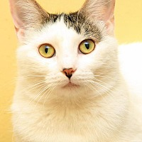 Adopt A Pet :: Shiloh - Sterling Heights, MI
