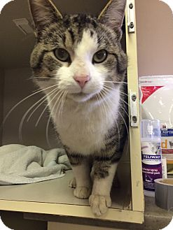 Domestic Shorthair Cat for adoption in Woodstock, Ontario - Timmy