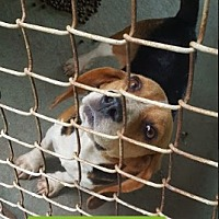 Beagle Dog for adoption in Marianna, Florida - Breezy