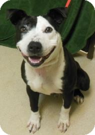 Pit Bull Terrier Mix Dog for adoption in Gary, Indiana - Razor
