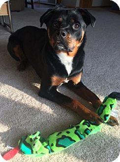 Union Grove Wi Rottweiler Meet Roxy A Pet For Adoption