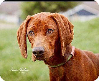 Labrador Retriever/Hound (Unknown Type) Mix Dog for adoption in Zanesville, Ohio - Stella - ADOPTED!