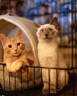 Adopt A Pet :: Chestnut (Bonded with Coconut)  - Blasdell, NY