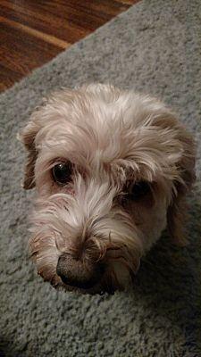 Buffalo, NY - Cockapoo  Meet Maggie a Pet for Adoption