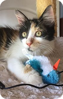 Maine Coon Kitten for adoption in Anderson, South Carolina - Splash