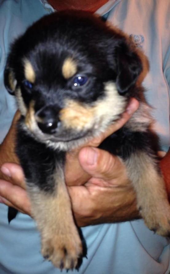 Sumter Sc Rottweiler Meet Adam A Pet For Adoption