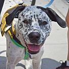 Adopt A Pet :: Darla (Has Application)
