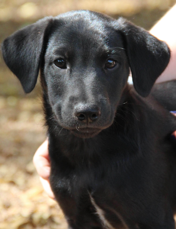 O Fallon Il Labrador Retriever Meet