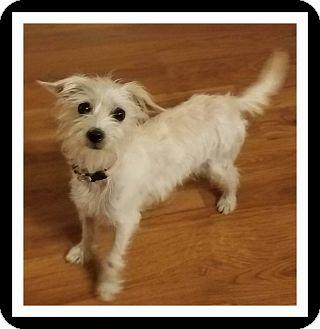 Winchester Ca Westie West Highland White Terrier Meet Beckie A