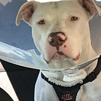 Unique Italian Greyhound Rescue Md