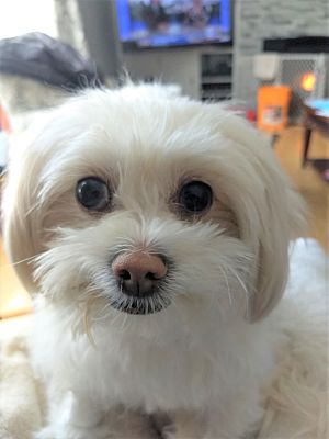 Pine Meadow, CT - Maltese  Meet Snowy a Pet for Adoption