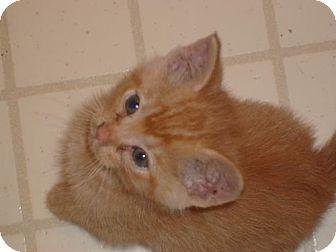 Domestic Shorthair Kitten for adoption in Lenexa, Kansas - Joe