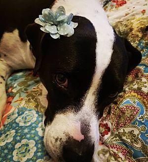 Adopt A Pet :: Daisy  - Clarksville, TN