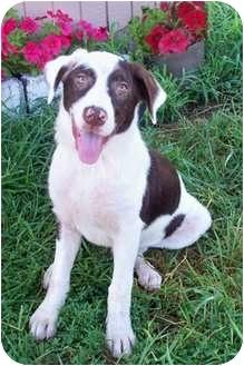 Retriever (Unknown Type) Mix Dog for adoption in Sullivan, Missouri - Lane