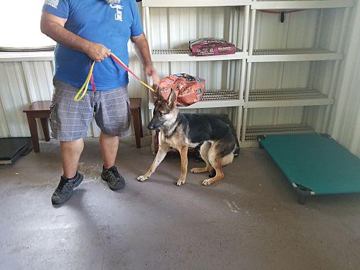 Dallas, TX - German Shepherd Dog  Meet Audrey a Pet for