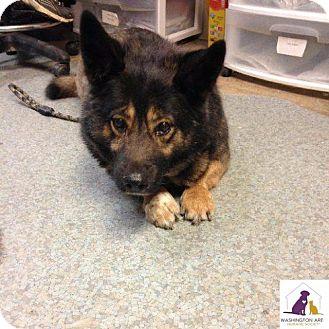 German Shepherd Dog/Basset Hound Mix Dog for adoption in Eighty Four, Pennsylvania - Stubby