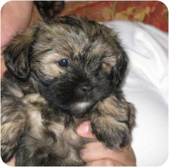 Charlotte Nc Shih Tzu Meet Shihtzu Puppies Adoption Pend A Pet